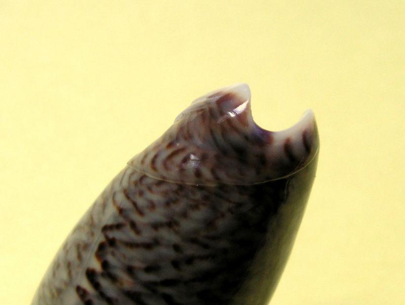 Americoliva truncata (Marrat, 1867) - Worms = Oliva truncata Marrat, 1867 Olitru11