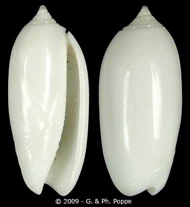 Olividae Oliva - Discussion sur le genre Oliva_11