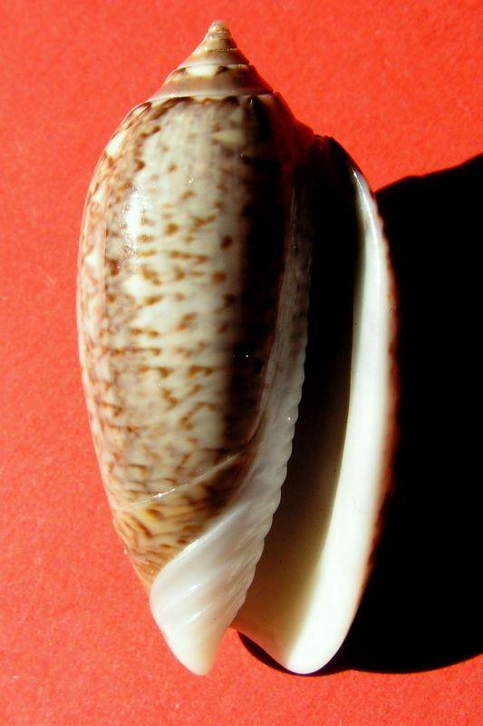 Americoliva violacea (Marrat, 1867) - Worms = Oliva violacea Marrat, 1867 Olivio11