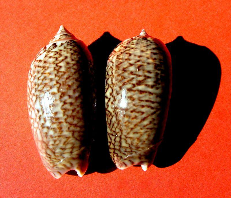 Americoliva violacea (Marrat, 1867) - Worms = Oliva violacea Marrat, 1867 Olivio12