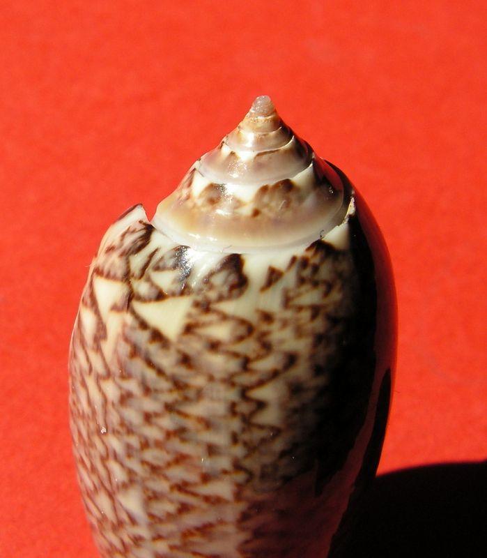Americoliva violacea (Marrat, 1867) - Worms = Oliva violacea Marrat, 1867 Olivio13