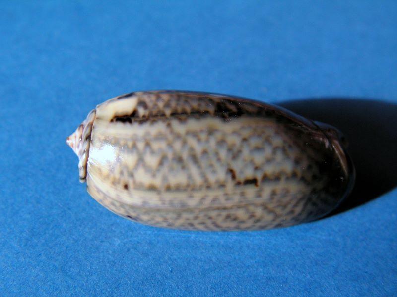 Viduoliva westralis (Petuch & Sargent, 1986) - Worms = Oliva westralis Petuch & Sargent, 1986 Oliwes10