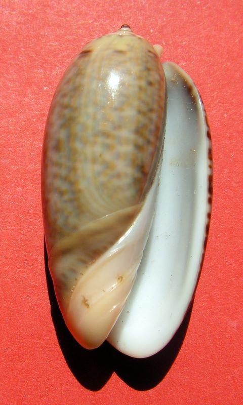 Viduoliva westralis (Petuch & Sargent, 1986) - Worms = Oliva westralis Petuch & Sargent, 1986 Olvele10