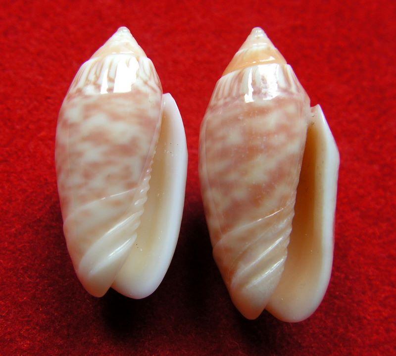 Annulatoliva parkinsoni (Prior, 1957) - Worms = Oliva parkinsoni Prior, 1975 Oparki10