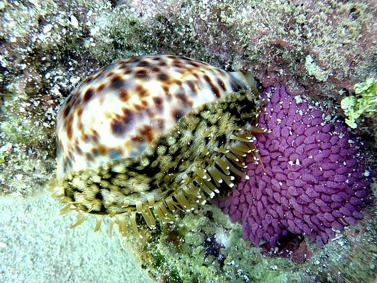 Cypraea_tigris_(Linnaeus_1758) P3130011