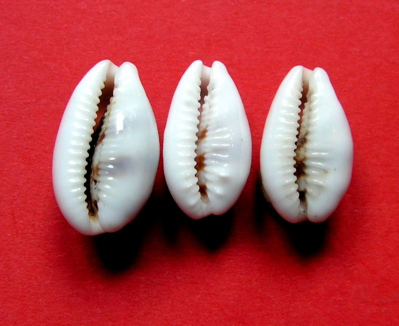 Palmadusta asellus bitaeniata - (Geret, 1903) voir Palmadusta asellus asellus - (Linnaeus, 1758) P_asel14