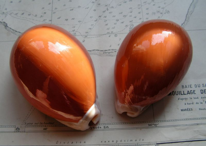 Callistocypraea aurantium - (Gmelin, 1791) P_aura10