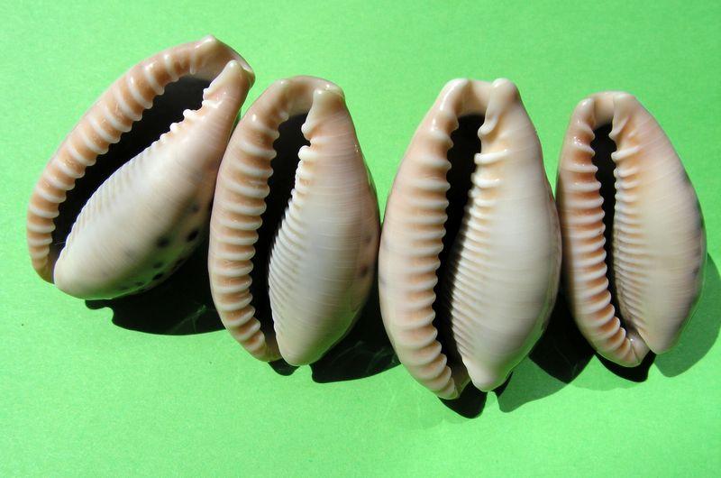 Erronea caurica quinquefasciata - (Röding, 1798)  P_cauq11