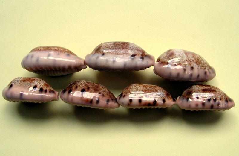 Erronea caurica - (Linnaeus, 1758) - Wallis P_caur12