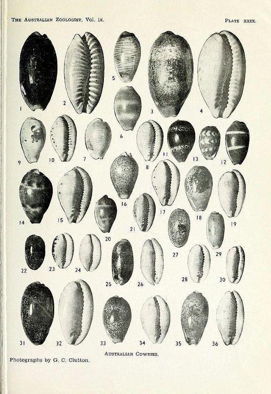 Erronea caurica longior - Iredale, 1935  voir Erronea caurica caurica (Linnaeus, 1758)  P_caur33