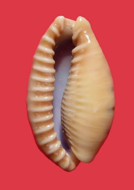 Erronea caurica mayottensis - Vachon & Verneau, 2017 P_caur35