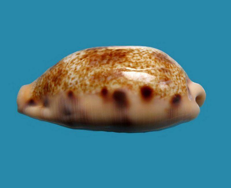 Erronea caurica samoensis - Lorenz, 2002 P_caur54