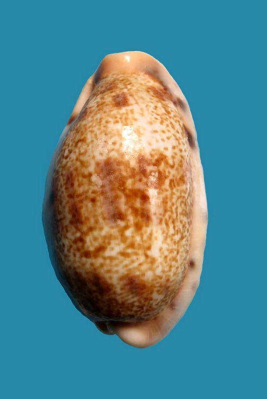 Erronea caurica samoensis - Lorenz, 2002 P_caur57