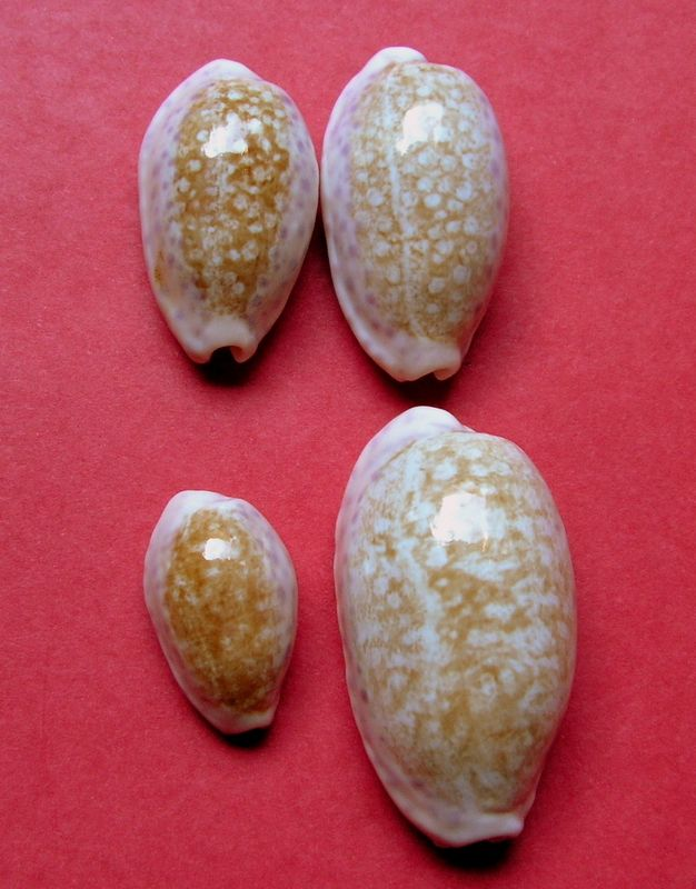 Ovatipsa chinensis - (Gmelin, 1791)  P_chin16