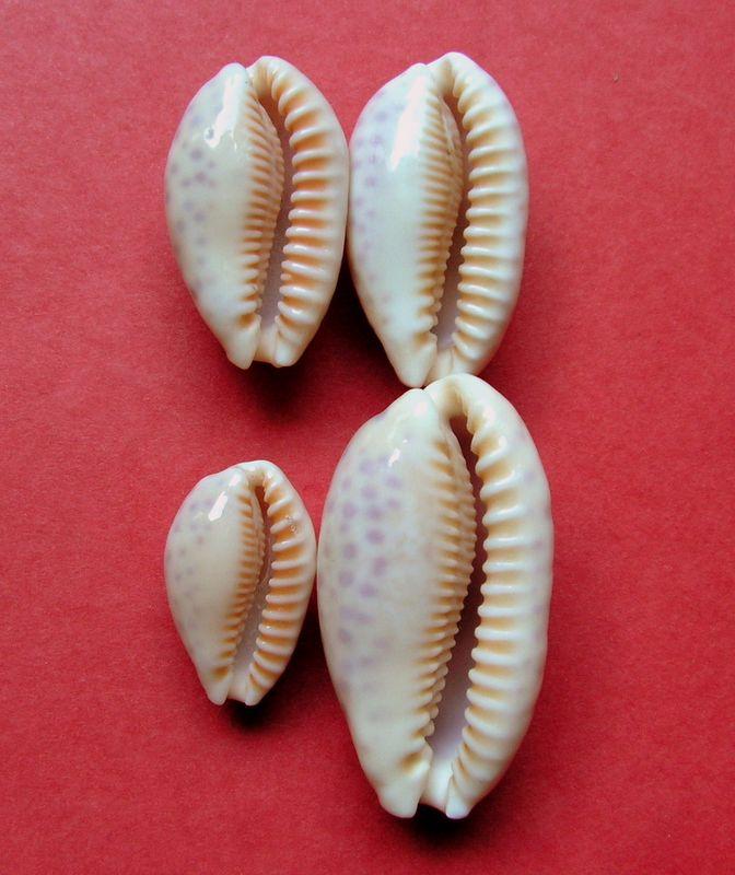 Ovatipsa chinensis - (Gmelin, 1791)  P_chin17
