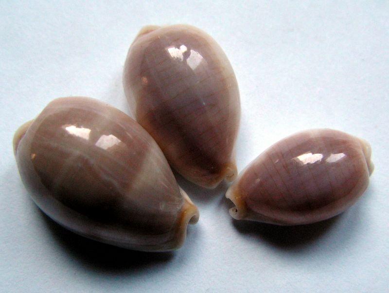 Palmadusta clandestina passerina - (Melvill, 1888) P_clan15