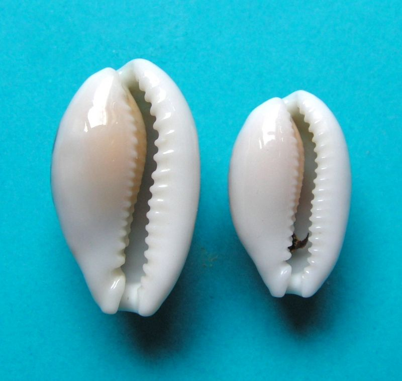 Cribrarula cribraria comma - (Perry, 1811) P_crib13