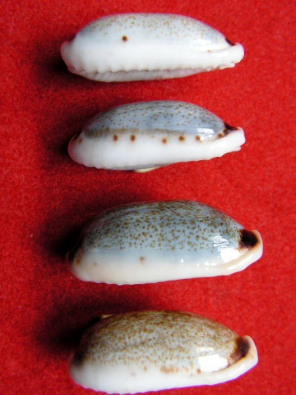 Erronea cylindrica - (Born, 1778) P_cyli12