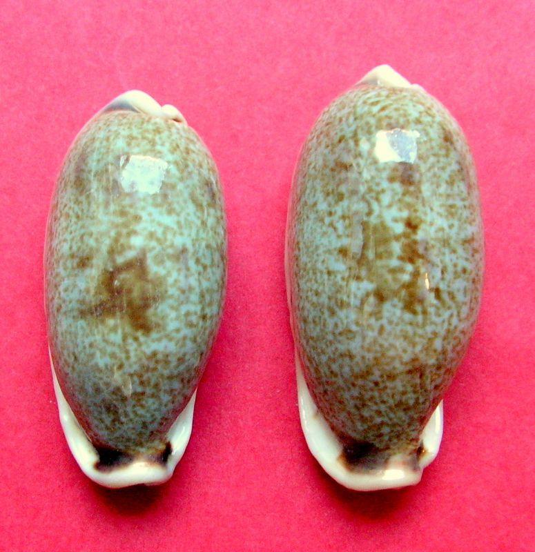 Erronea cylindrica lenella - Iredale, 1939 P_cyli13