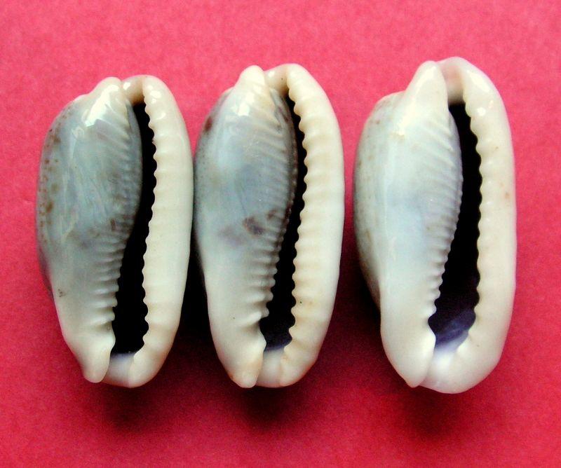 Erronea cylindrica lenella - Iredale, 1939 P_cyli19