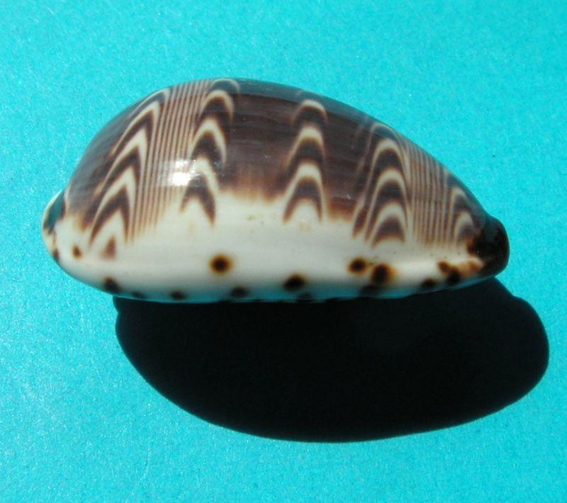Palmadusta diluculum - (Reeve, 1845) P_deli13