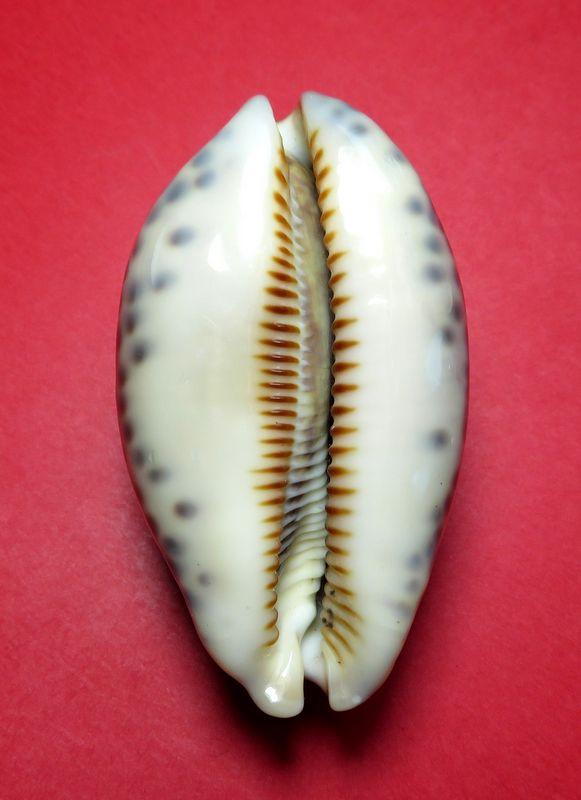 Mauritia eglantina - (Duclos, 1833) - Page 3 P_egla13