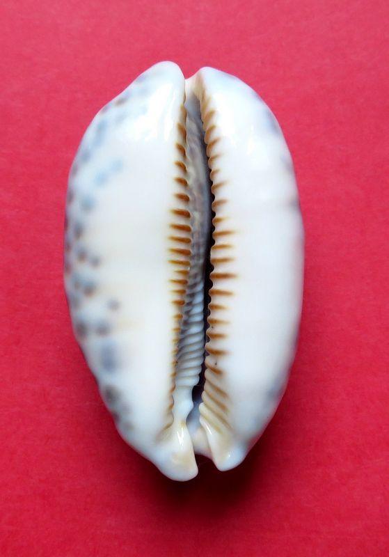 Mauritia eglantina - (Duclos, 1833) - Page 3 P_egla15