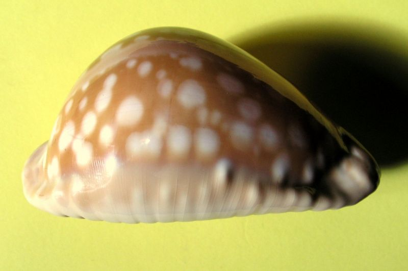 Callistocypraea leucodon leucodon - (Broderip, 1828) - Page 3 P_leuc10
