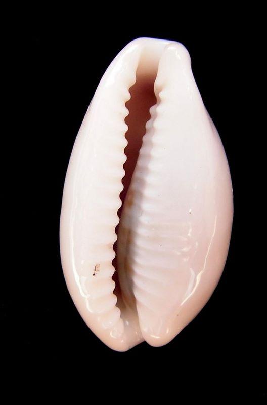 Eclogavena luchuana - (Kuroda, 1960) P_luch11