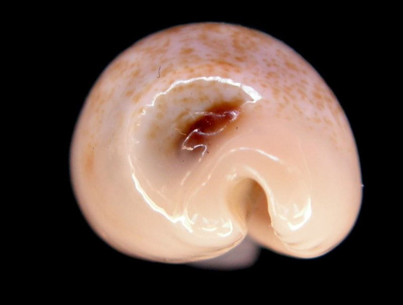 Eclogavena luchuana - (Kuroda, 1960) P_luch12