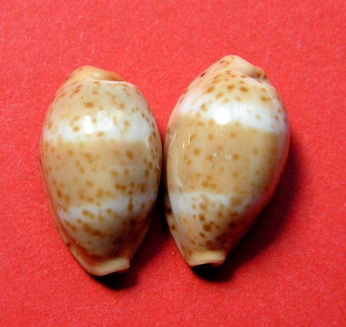 Palmadusta lutea - (Gmelin, 1791) P_lute18