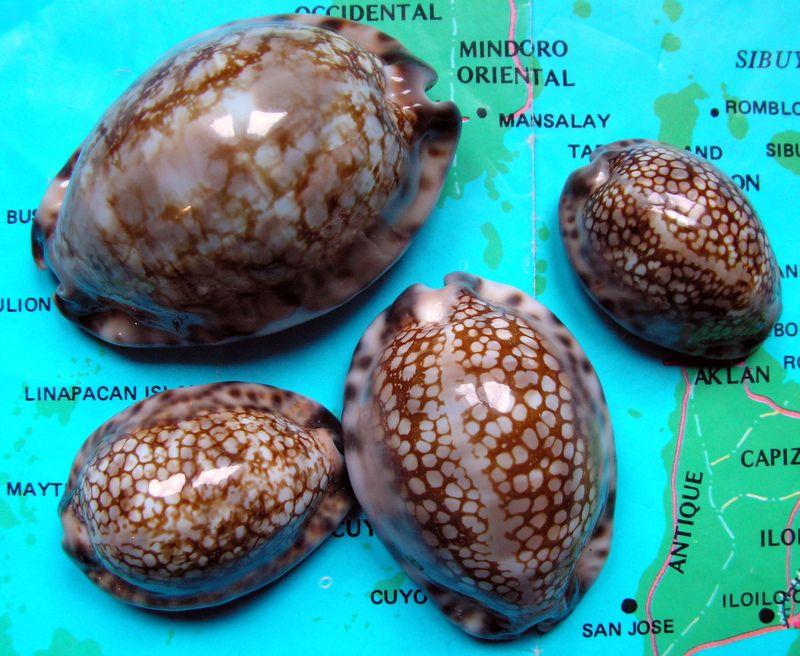 Mauritia maculifera scindata - Lorenz, 2002 P_macs10