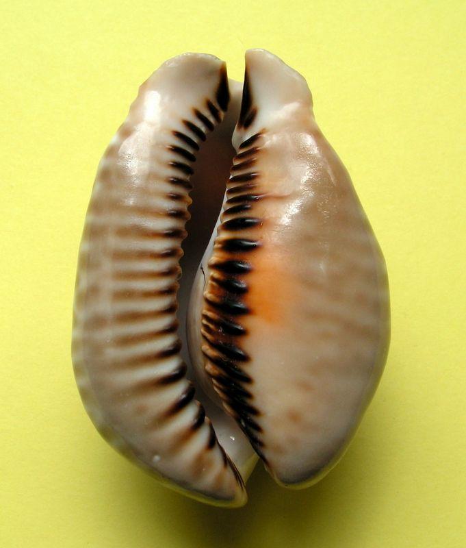 Muracypraea mus donmoorei - Petuch, 1979  P_musd12