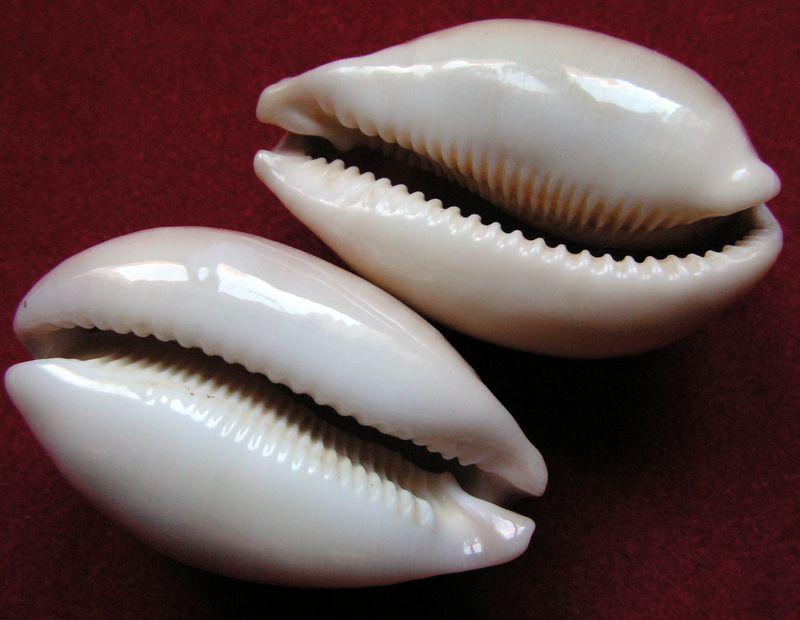 Callistocypraea nivosa - (Broderip, 1827) P_nivo11