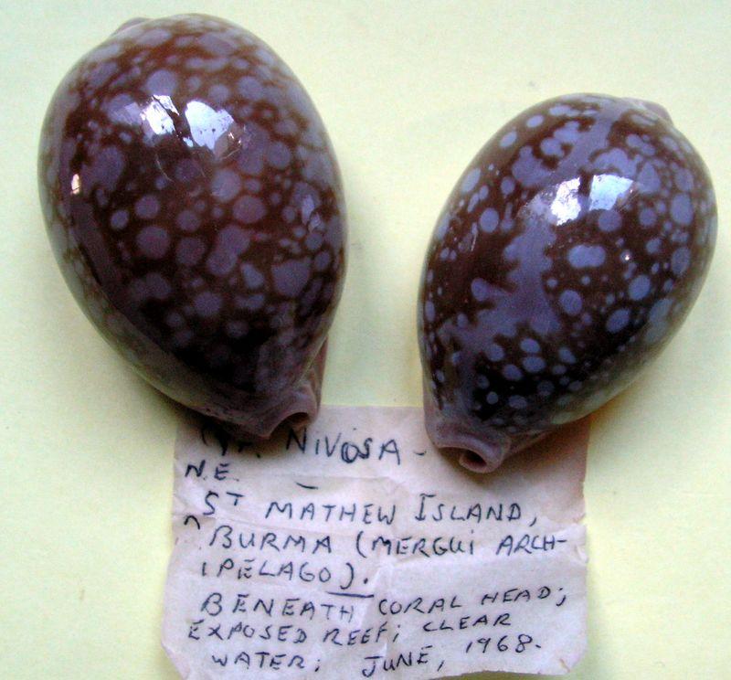 Callistocypraea nivosa - (Broderip, 1827) - Page 2 P_nivo13