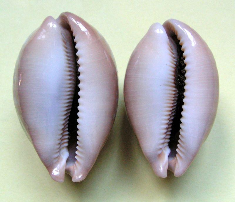 Callistocypraea nivosa - (Broderip, 1827) - Page 2 P_nivo14