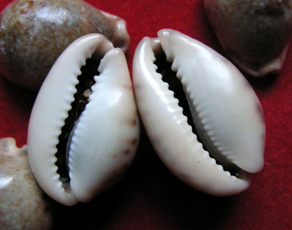Erronea pallida - (J.E. Gray, 1824) P_pall20