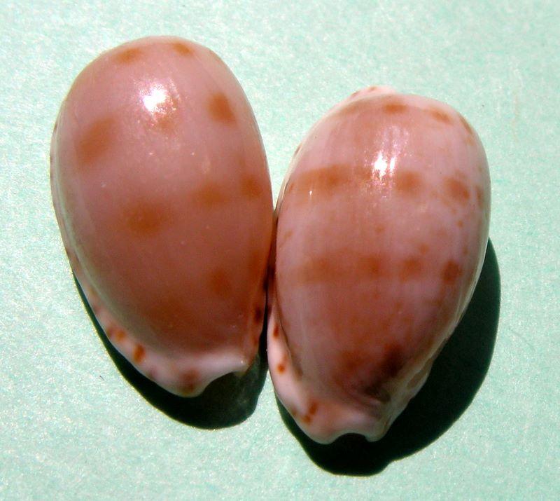 Notocypraea pulicaria - (Reeve, 1846) P_puli10