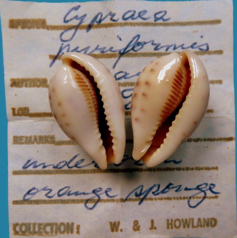 Erronea pyriformis smithi - (Sowerby, 1881) P_pyri18
