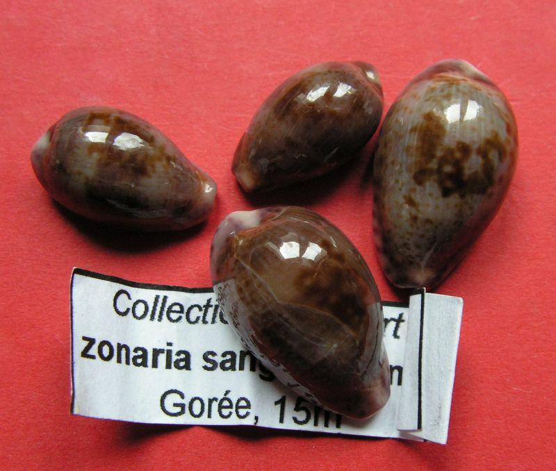 Zonaria sanguinolenta - (Gmelin, 1791) P_sang10