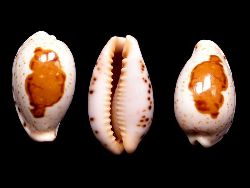 Palmadusta saulae f. visayensis - (Massilia, 1978) P_saul10