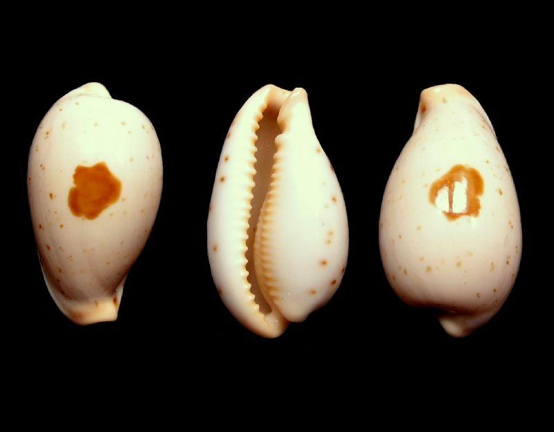 Palmadusta saulae siasiensis - (Cate, 1960) P_saul22