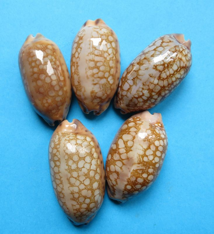 Mauritia scurra scurra - (Gmelin, 1791)  P_scur17