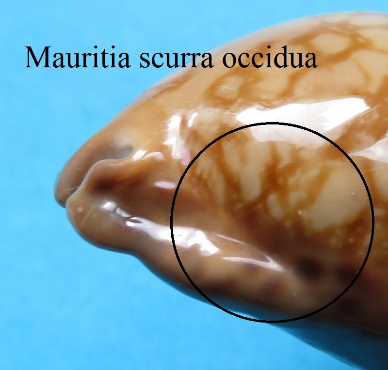 Mauritia scurra scurra - (Gmelin, 1791)  P_scur20