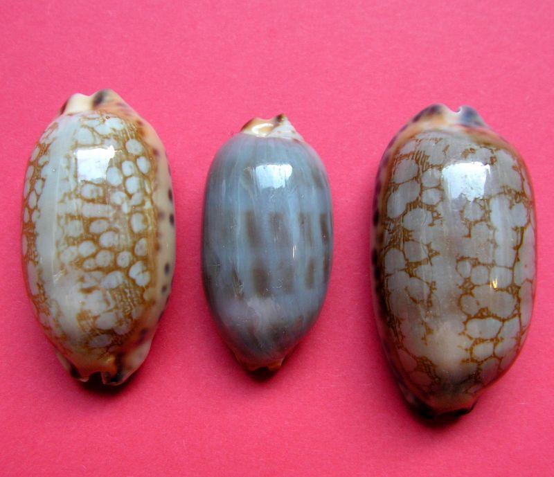 Mauritia scurra scurra - (Gmelin, 1791)  P_scur21