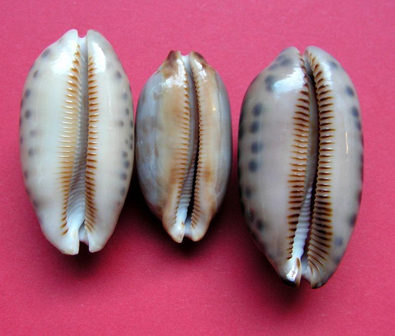 Mauritia scurra scurra - (Gmelin, 1791)  P_scur22