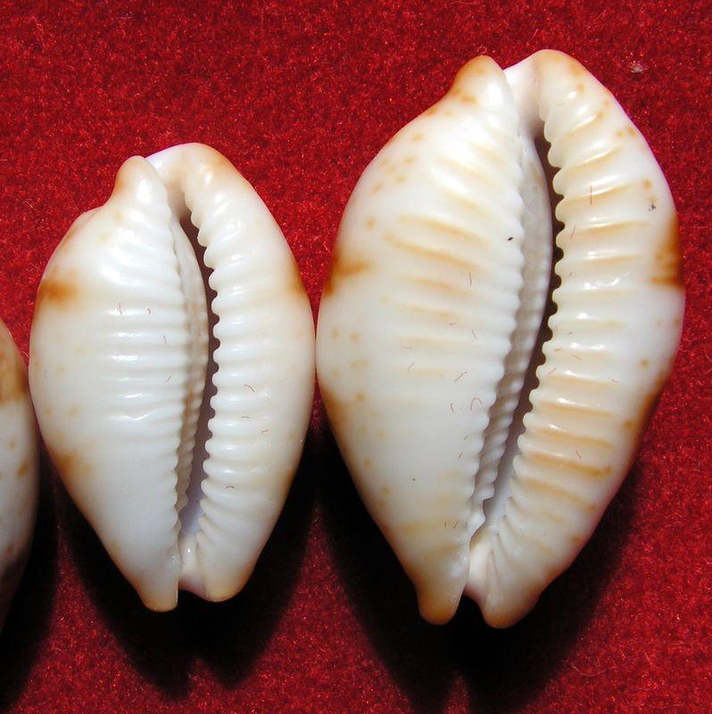 Bistolida stolida rubiginosa - (Gmelin, 1791) P_stor12