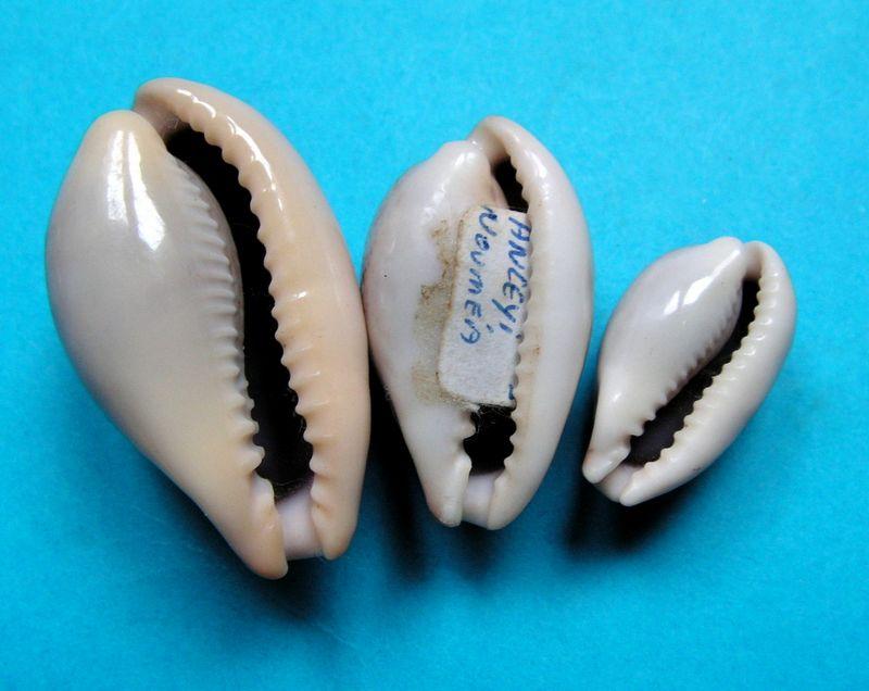 Erronea subviridis anceyi - (Vayssière, 1905) voir Erronea subviridis (Reeve, 1835) P_subk11