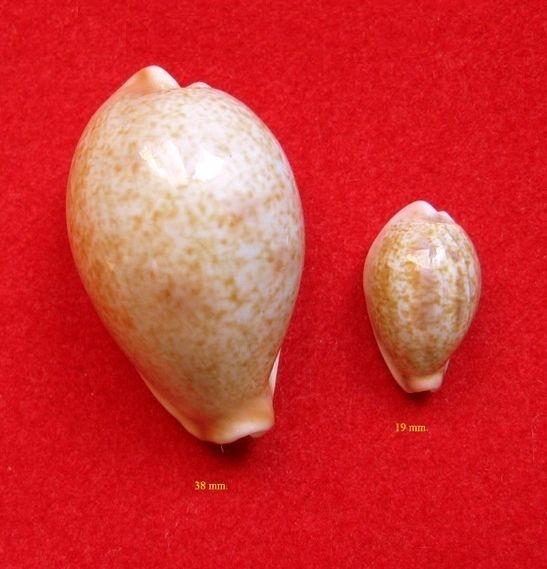 Erronea subviridis kesata - Steadman & Cotton, 1943 P_subk16
