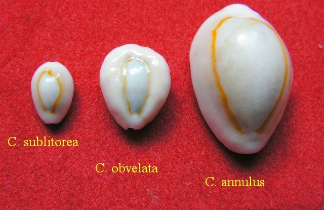 Monetaria annulus sublitorea - Lorenz, 1997 P_subl10